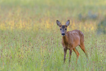 Western Roe Deer (Capreolus Ca...