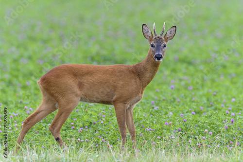 Western Roe Deer (Capreolus capreolus) in Red Clover, Roebuck, Hesse, Germany, Europe