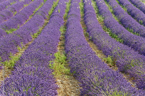 Lavender (Lavandula) Field, Roumoules, Plateau de Valensole, Alpes-de-Haute-Provence, Provence-Alpes-Cote d'Azur, France