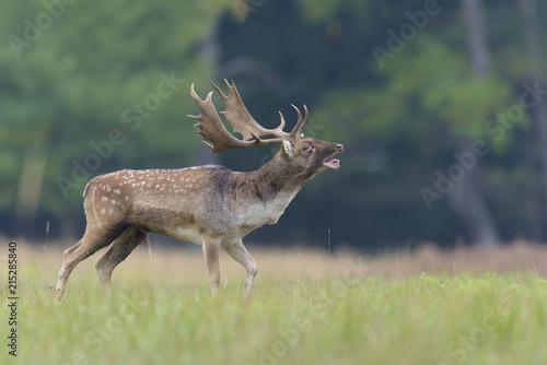 Bellowing Male Fallow Deer (Cervus dama) in Rutting Season, Hesse, Germany