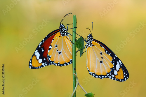 Deurstickers Vlinder Closeup beautiful butterfly .Danaus chrysippus & flower in the garden.