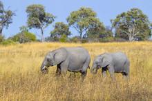 Female African Elephant (Loxod...