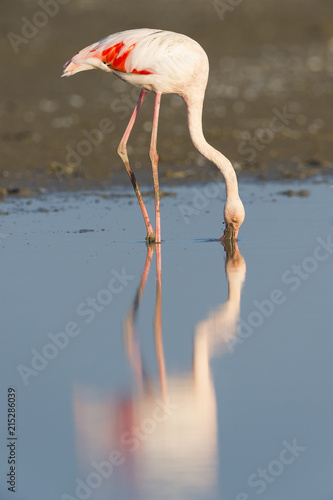 Greater Flamingo (Phoenicopterus roseus), Saintes-Maries-de-la-Mer, Parc Naturel Regional de Camargue, France