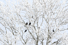 Jackdaws In Tree With Hoarfrost