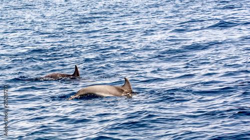 Plakat Delfiny butlonosych