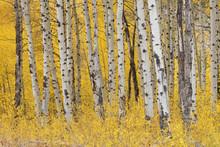 American Aspen Tree (Populus T...