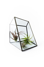 Three Airplants In Glass Case On White Background