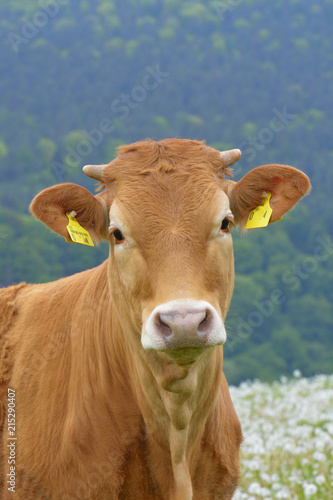 Close-up Portrait of Cow, Miltenberg, Bavaria, Germany, Europe