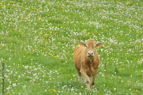 Poster Koe Cow walking in meadow, Miltenberg, Bavaria, Germany, Europe