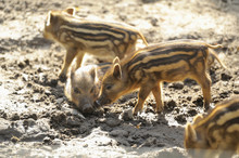Close-up Of Wild Boar Or Wild Pig (Sus Scrofa) Piglets In A Forest In Early Summer, Wildlife Park Old Pheasant, Hesse, Germany