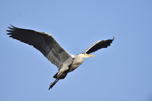 Close-up Of A Grey Heron (Ardea Cinerea) Flying Around In Spring, Bavaria, Germany