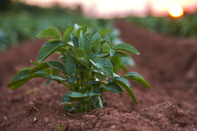 Close-up Of Russet Potato Plant In Red Earth Field At Sunset, Prince Edward Island, Canada