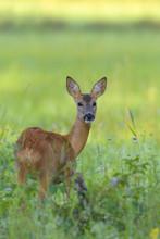 European Roe Deer (Capreolus Capreolus) In Meadow, Hesse, Germany