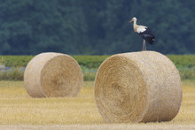 White Stork (Ciconia Ciconia) On Hay Bale, Hesse, Germany