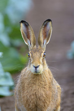 European Brown Hare Looking At...