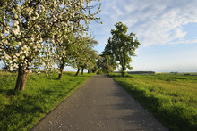 Rural Road With Blossoming Apple Tree In Spring, Walldurn, Neckar-Odenwald-District, Odenwald, Baden-Wurttemberg, Germany