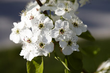 Close-up Of Callery Pear Tree ...