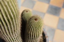 Close-up Of Potted Cactus, Mar...