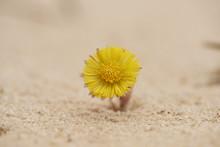 Close-up Of Coltsfoot (Tussilago Farfara) Blooming In Sandpit In Spring, Upper Palatinate, Bavaria, Germany