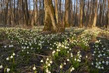 Landscape With Spring Snowflakes (Leucojum Vernum) Blooming In Swamp In Spring, Upper Palatinate, Bavaria, Germany