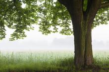 Chestnut Tree In Morning Mist,...