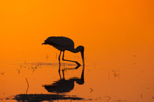 Silhouette Of Yellow-billed St...