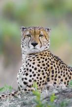Portrait Of A Cheetah (Acinony...