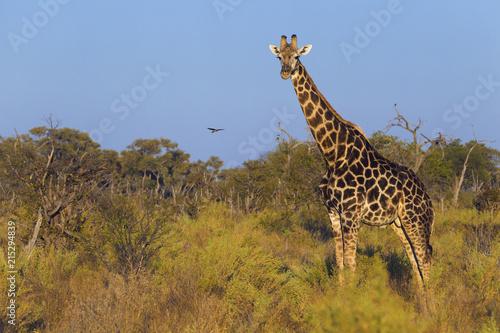 Portrait of a southern giraffe (Giraffa giraffa) standing in a field looking at the camera at Okavango Delta in Botswana, Africa