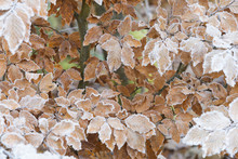 Close-up Of Beech Tree Leaves In Autumn Covered With Rime In The Odenwald Hills In Bavaria, Germany