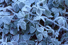 Close-up Of Blackberry Leaves In Autumn Covered With Rime In The Odenwald Hills In Bavaria, Germany