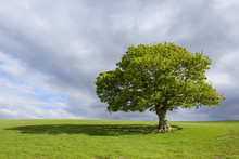 Oak Tree On Grassy Field In Spring In Scotland, United Kingdom