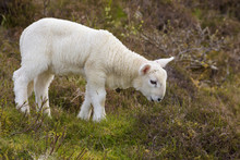 Close-up Of Lamb Grazing In Springtime At Dunvegan On The Isle Of Skye In Scotland, United Kingdom