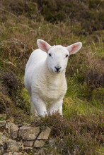 Close-up Portrait Of Lamb In S...