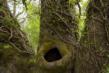 Close-up Of Old Tree Trunk With A Hole Surrounded By Ivy In Spring On The Isle Of Skye In Scotland, United Kingdom