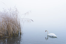 Mute Swan On Lake In Winter, Hesse, Germany