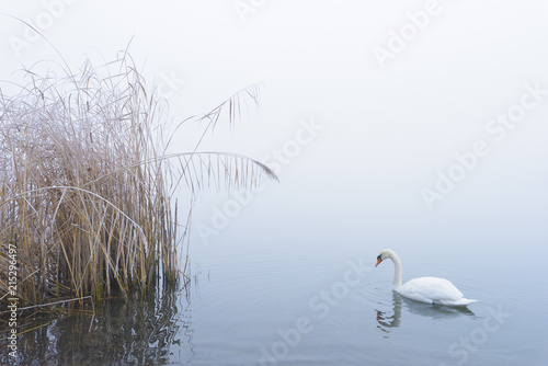 Mute Swan on Lake in Winter, Hesse, Germany