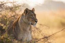 African Lioness Sitting, Okavango Delta, Botswana, Africa