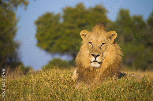 Portrait of an African lion (Panthera leo) lying in the grass and looking at the camera at Okavango Delta in Botswana, Africa
