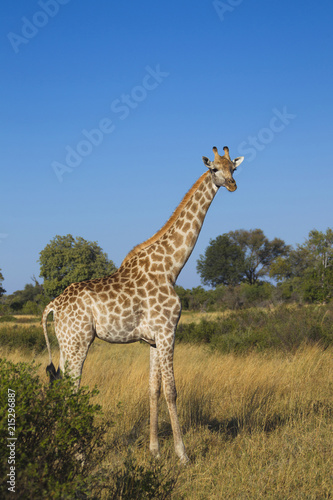 Portrait of a southern giraffe (Giraffa giraffa) standing in a field looking at the camera at Okavango Delta, Botswana, Africa