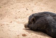 Black Hog On Ground
