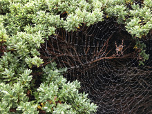 Spiders Web Covered In Dew Inside A Plant.