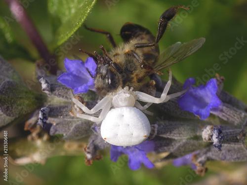 Plakat Kraba pająk je miodowej pszczoły