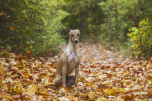 Dog And Autumn Leafs