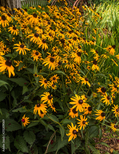 Blackeyed Susans Fototapet
