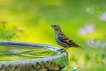 Pine Siskin Perched On Bird Ba...