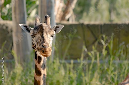 Foto op Aluminium Giraffe Giraffe Head