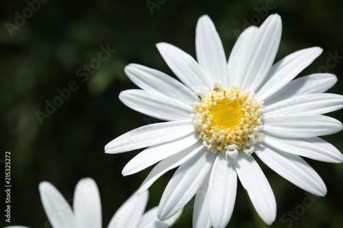 Close up oxeye daisy leuchanthemum flower perfectly white petals close up oxeye daisy leuchanthemum flower perfectly white petals and detailed yellow center pistils mightylinksfo