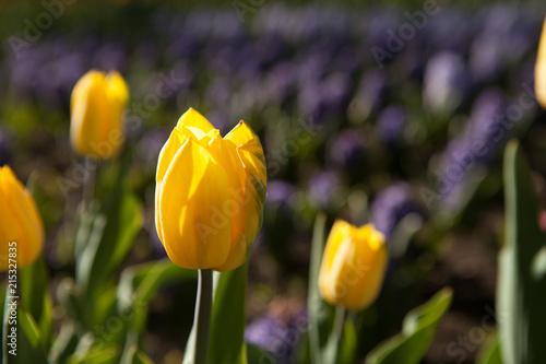 Deurstickers Tulp Tulips growing on a flower bed