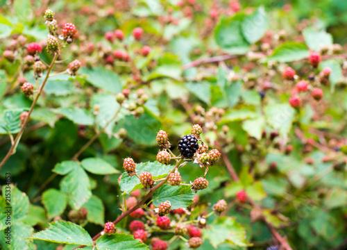 Fotografija  Ripening of the blackberries
