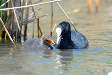 Close Up Of A Coot In The Wate...